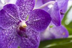 Purpere orchideeën (Vanda) Royalty-vrije Stock Fotografie