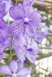 Purpere orchideeën (Vanda) Stock Foto's
