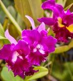 Purpere orchideeën, Violette orchideeën De orchidee is koningin van bloemen Orchidee in tropische tuin Orchidee in aard Stock Foto