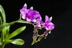 Purpere Orchideeënbloem Stock Afbeeldingen