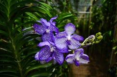 Purpere orchidee royalty-vrije stock foto's
