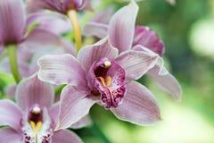 Purpere orchidee stock foto
