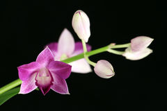 Purpere orchidee Royalty-vrije Stock Fotografie