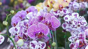 Purpere orchidee stock video
