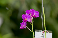 Purpere orchidee Stock Afbeelding