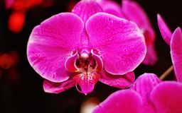 Purpere orchidee Stock Foto