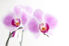 Purpere Orchidee Royalty-vrije Stock Foto