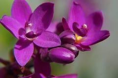 Purpere orchidee Royalty-vrije Stock Afbeeldingen
