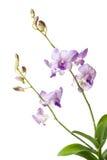 Purpere orchidee die op witte achtergrond wordt geïsoleerdt Stock Afbeeldingen