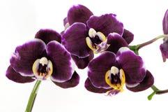 Purpere orchidee drie Royalty-vrije Stock Afbeeldingen