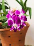 Purpere orchidee in een bloempot Stock Foto's