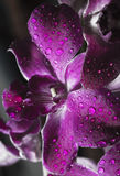Purpere orchidee met dauwdaling Stock Foto