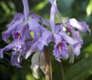 Purpere Orchidee met Gele Keel Stock Afbeeldingen