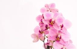 Purpere orchidee met witte achtergrond Stock Afbeelding