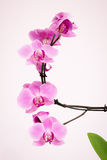 Purpere orchidee met witte achtergrond Royalty-vrije Stock Afbeelding