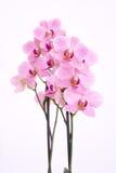 Purpere orchidee met witte achtergrond Stock Afbeeldingen