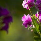 Purpere orchidee met zonlicht Royalty-vrije Stock Afbeeldingen
