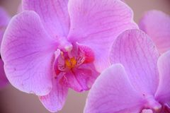 Purpere orchidee?n royalty-vrije stock afbeelding