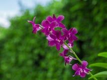 Purpere orchidee op onduidelijk beeld groene bladeren Stock Afbeelding