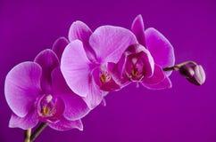 Purpere orchidee op viooltje stock fotografie
