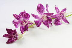 Purpere orchidee op witte achtergrond Stock Afbeelding