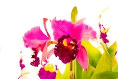 Purpere orchidee in orchideelandbouwbedrijf Thailand op witte achtergrond royalty-vrije stock foto