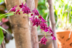 Purpere orchidee in tuin Royalty-vrije Stock Afbeelding