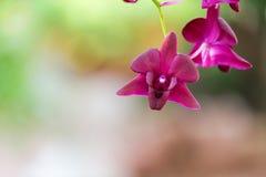 Purpere orchidee in tuin Royalty-vrije Stock Afbeeldingen