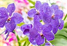 Purpere orchidee, Vanda stock foto's