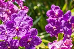 Purpere orchidee, Vanda royalty-vrije stock afbeeldingen