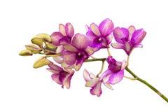 Purpere orchideebloem die, op Witte Achtergrond wordt geïsoleerd Royalty-vrije Stock Afbeeldingen