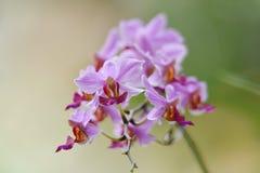 Purpere orchideebloem met stampers van rood en geel stock fotografie