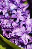 Purpere orientalis van hyacinthyacinthus Stock Fotografie