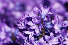 Purpere orientalis van hyacinthyacinthus Royalty-vrije Stock Foto