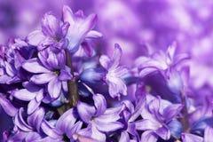 Purpere orientalis van hyacinthyacinthus Royalty-vrije Stock Afbeelding