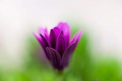 Purpere Osteospermum-bloem Stock Fotografie