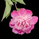 Purpere Paeonia-geïsoleerde peregrina stock afbeelding