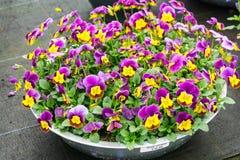 Purpere pansiebloemen bij de lente Stock Foto