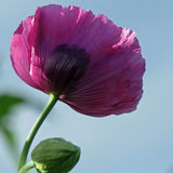 Purpere papaver Stock Afbeelding