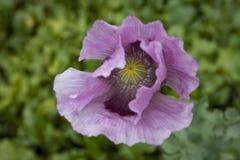 Purpere papaverpapaver - somniferum in bloem in een tuin Stock Afbeeldingen