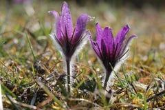 Purpere pasquebloemen in de lente stock afbeeldingen