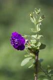 Purpere petunia  Royalty-vrije Stock Foto's