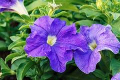Purpere Petunia Royalty-vrije Stock Afbeeldingen