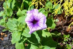 Purpere Petuniabloem in Bloei Royalty-vrije Stock Afbeeldingen