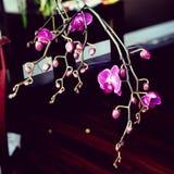 Purpere phalaenopsis stock fotografie