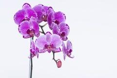 Purpere Phalaenopsis-Orchideeën Royalty-vrije Stock Afbeelding