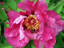 Purpere pioenbloem Royalty-vrije Stock Foto's