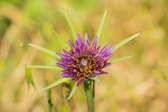 Purpere porrifolius van schorsenerentragopogon wildflower, Californië stock foto