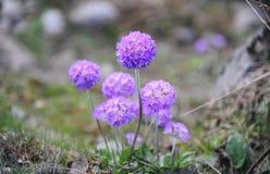 Purpere Primula'sbloemen (melige Primula) in Noord-Sikkim, Indi Stock Afbeeldingen