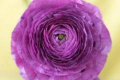 Purpere ranunculus of boterbloemenbloemmacro Stock Afbeeldingen
